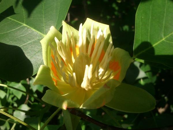 Цветок тюльпанового дерева